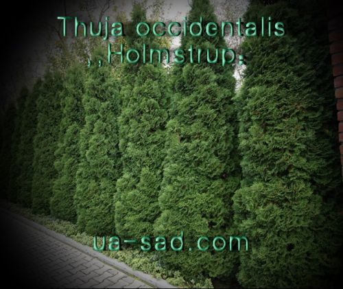Thuja occidentalis ,,Holmstrup""
